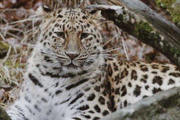 amur leopard ist das seltenste tier der welt