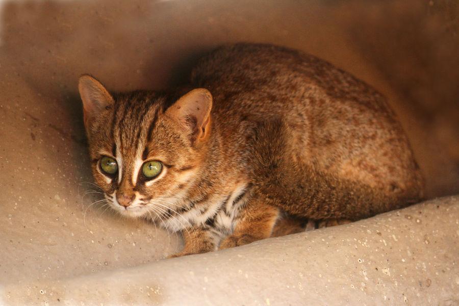 Welt kleinste katzen der Die seltenste