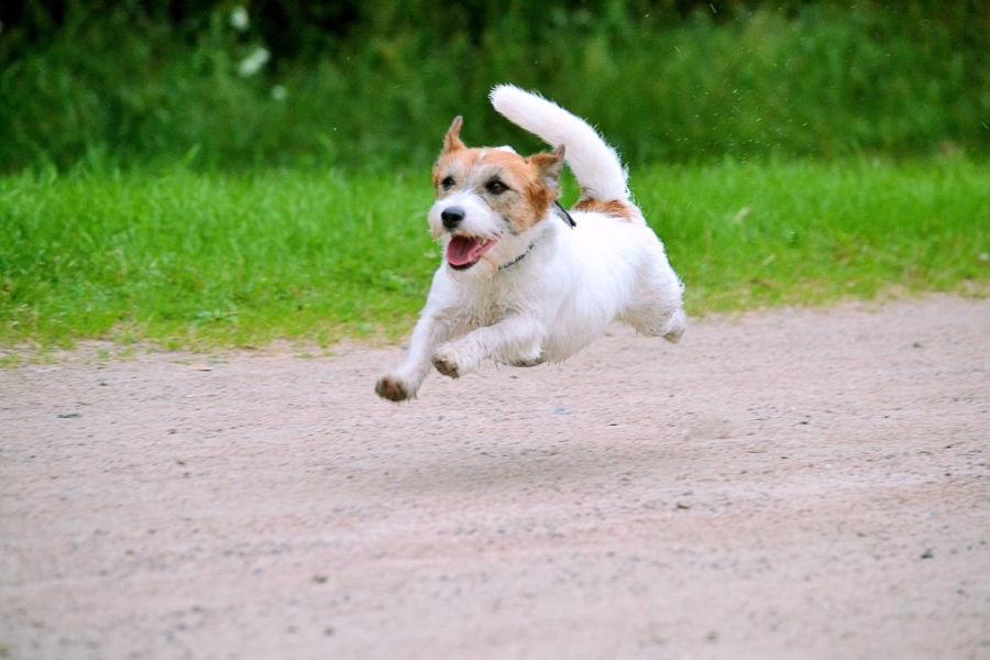 die schnellsten hunde der welt