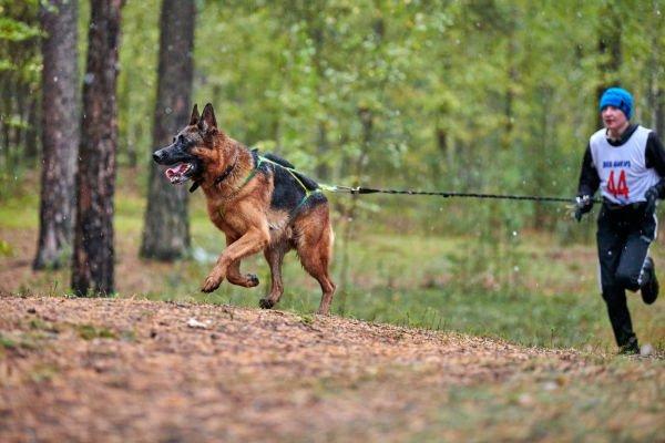Deutscher Schäferhund ist Platz 10 der schnellsten Hunde der Welt