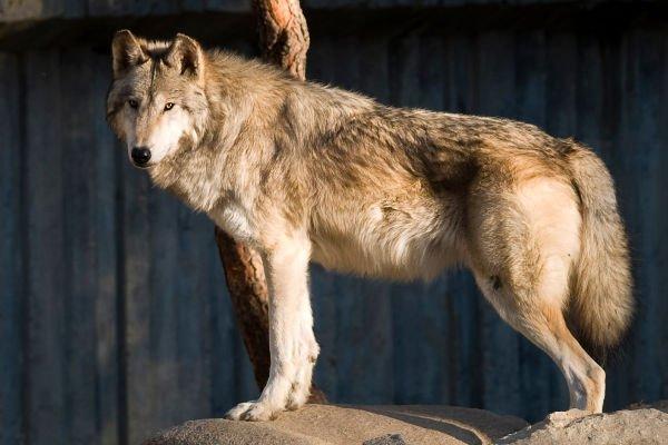 der größte wolf der welt