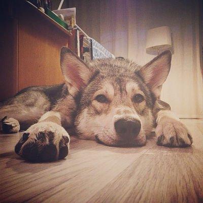 Hunderassen die wölfen ähneln