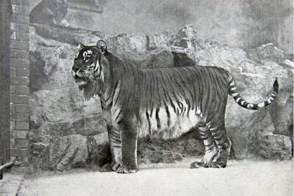 ausgestorbener Tiger