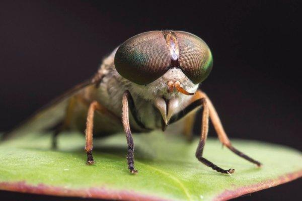 bremsen sind das schnellste insekt der welt
