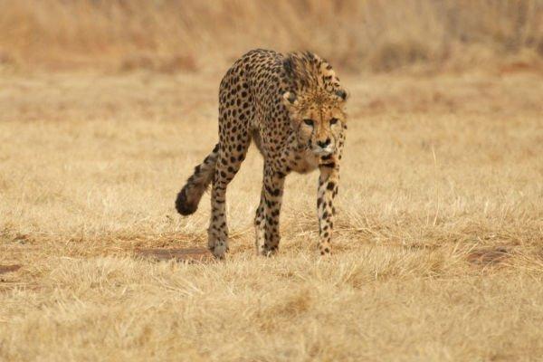 das schnellste landtier der welt