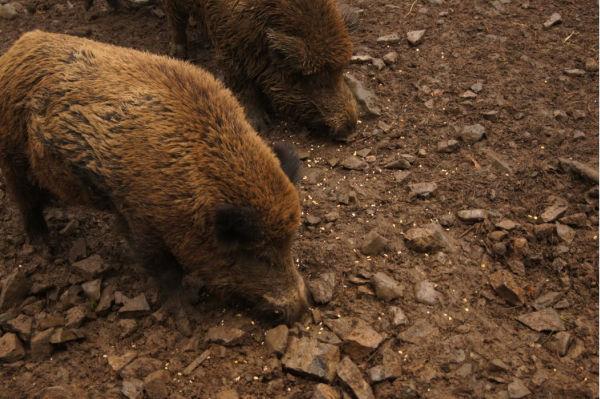 Wildschweine sind die gefährlichsten Tiere in Deutschland