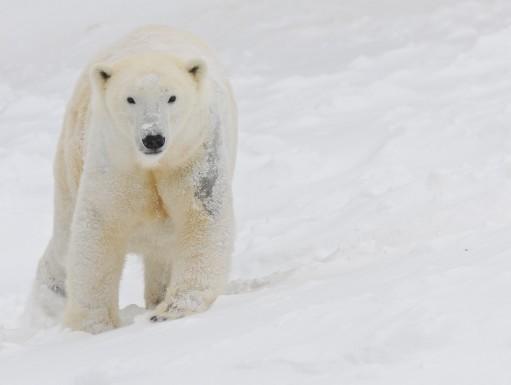 Der Eisbär ist das gefährlichste Tier in Europa