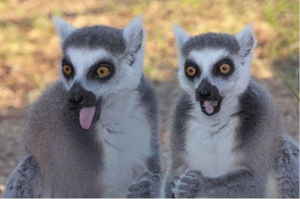 lemuren aus afrika