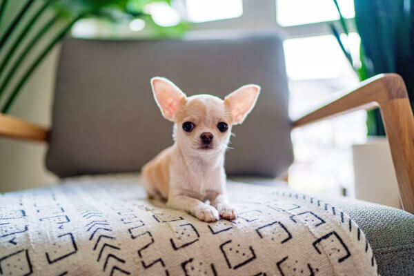 kleinster Hund der Welt!