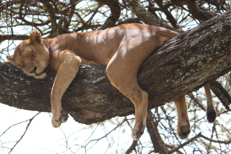 Können Löwen klettern?