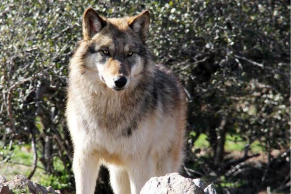 alle Wolfsarten im Überblick