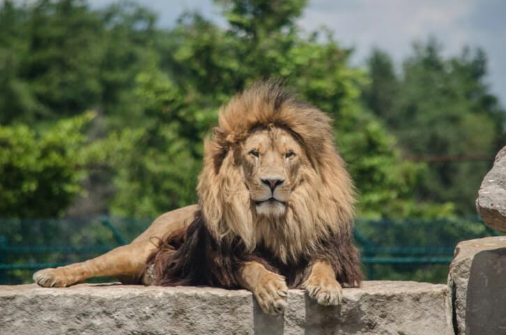 wie alt werden Löwen?