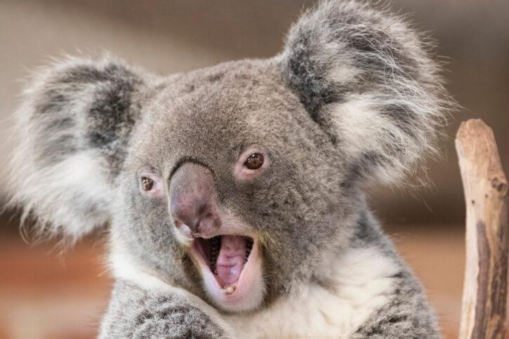 Sind Koalas gefährlich?