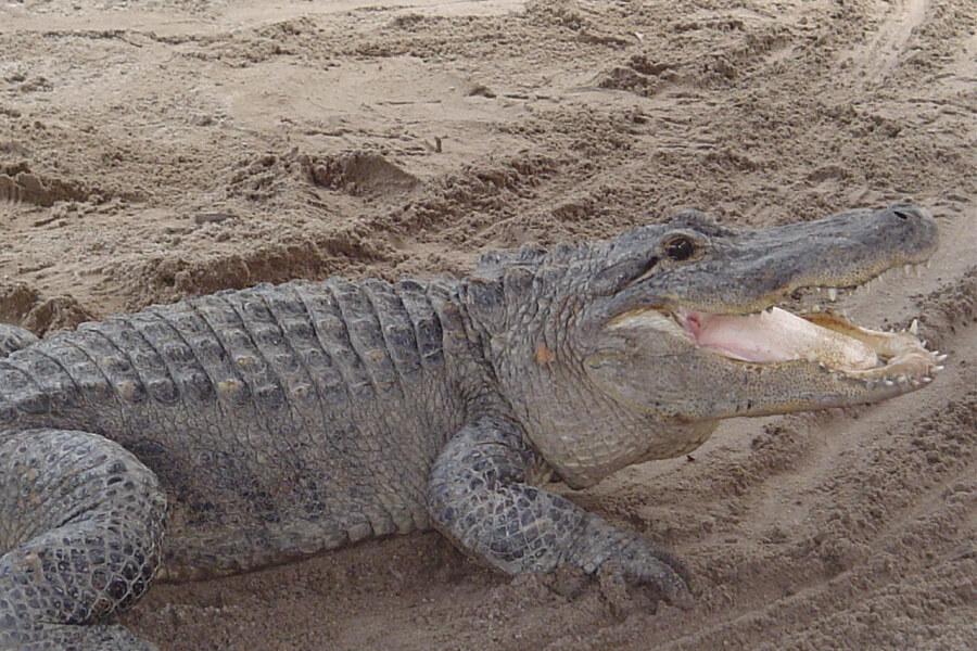 Krokodilarten