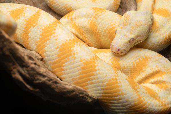die größte Schlange der Welt