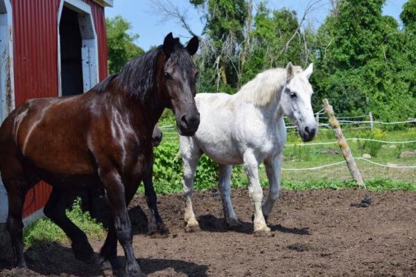 schönste Pferderassen