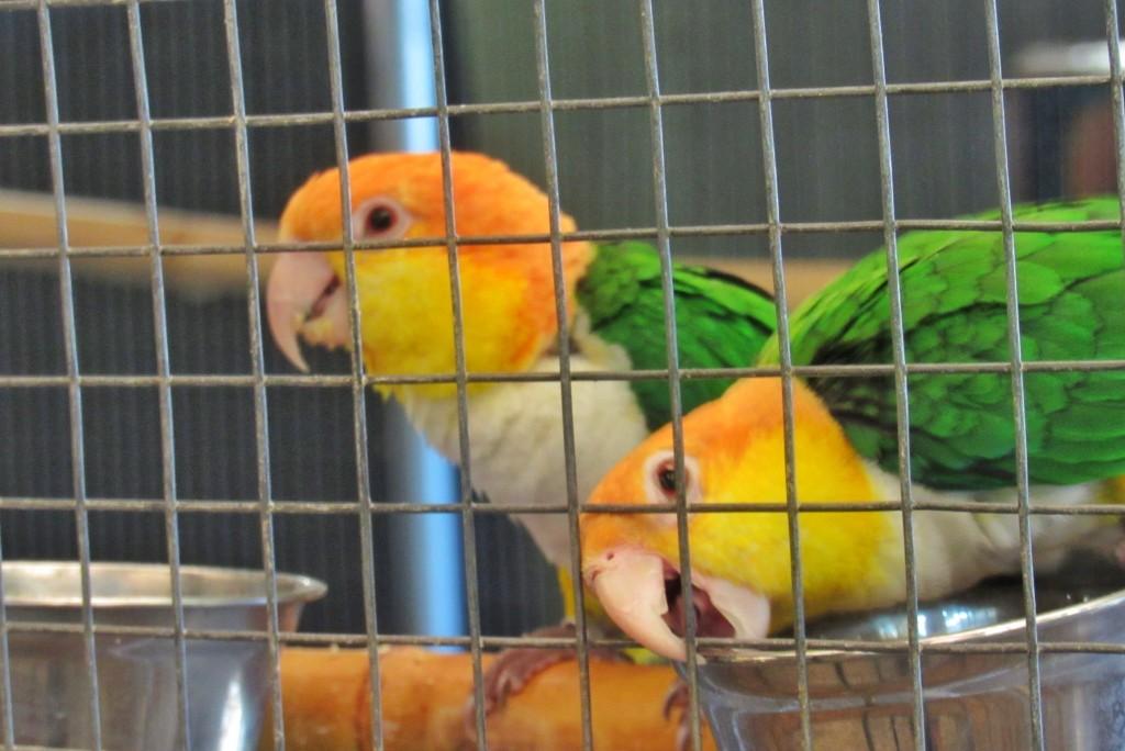 exotische Vögel in Gefangenschaft