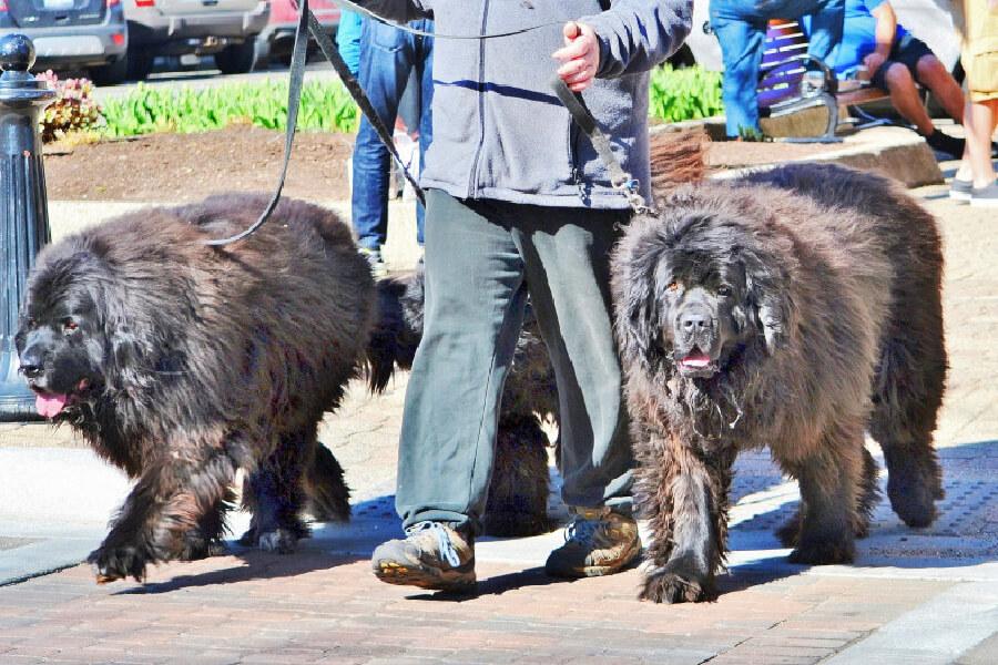 Hunde die wie bären aussehen